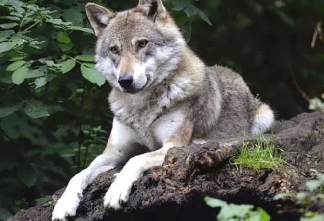 juicio caza ilegal lobo