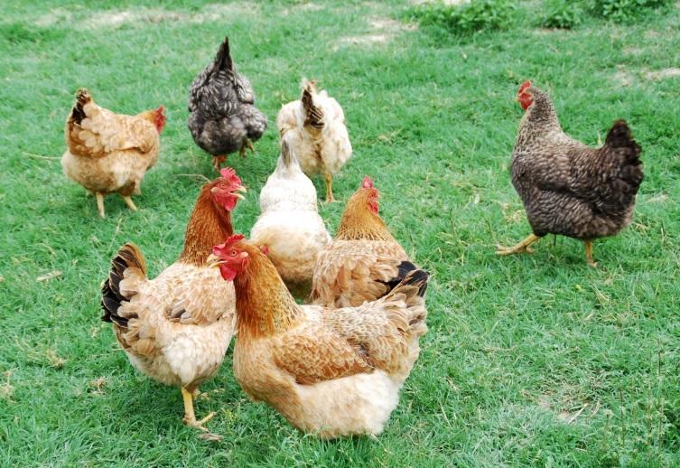 """""""Si no quieres que te multen por salir a la calle, di que tienes una gallina"""""""