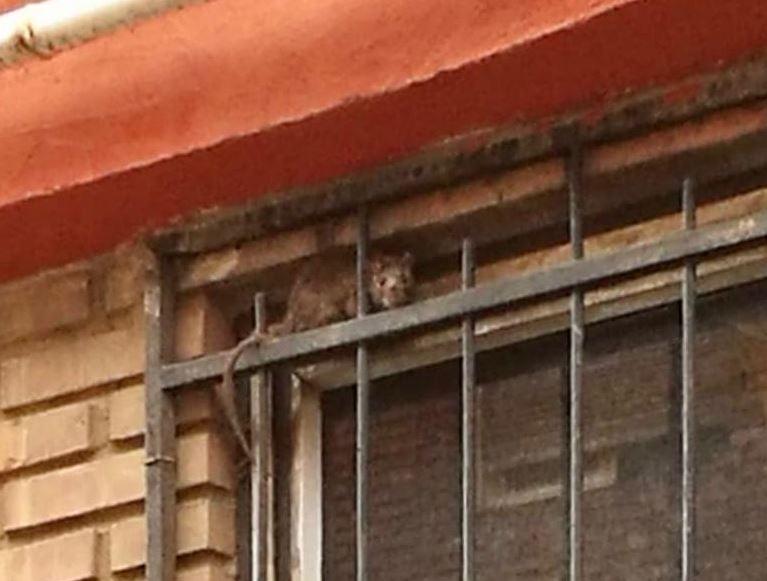 ratas en la asunción