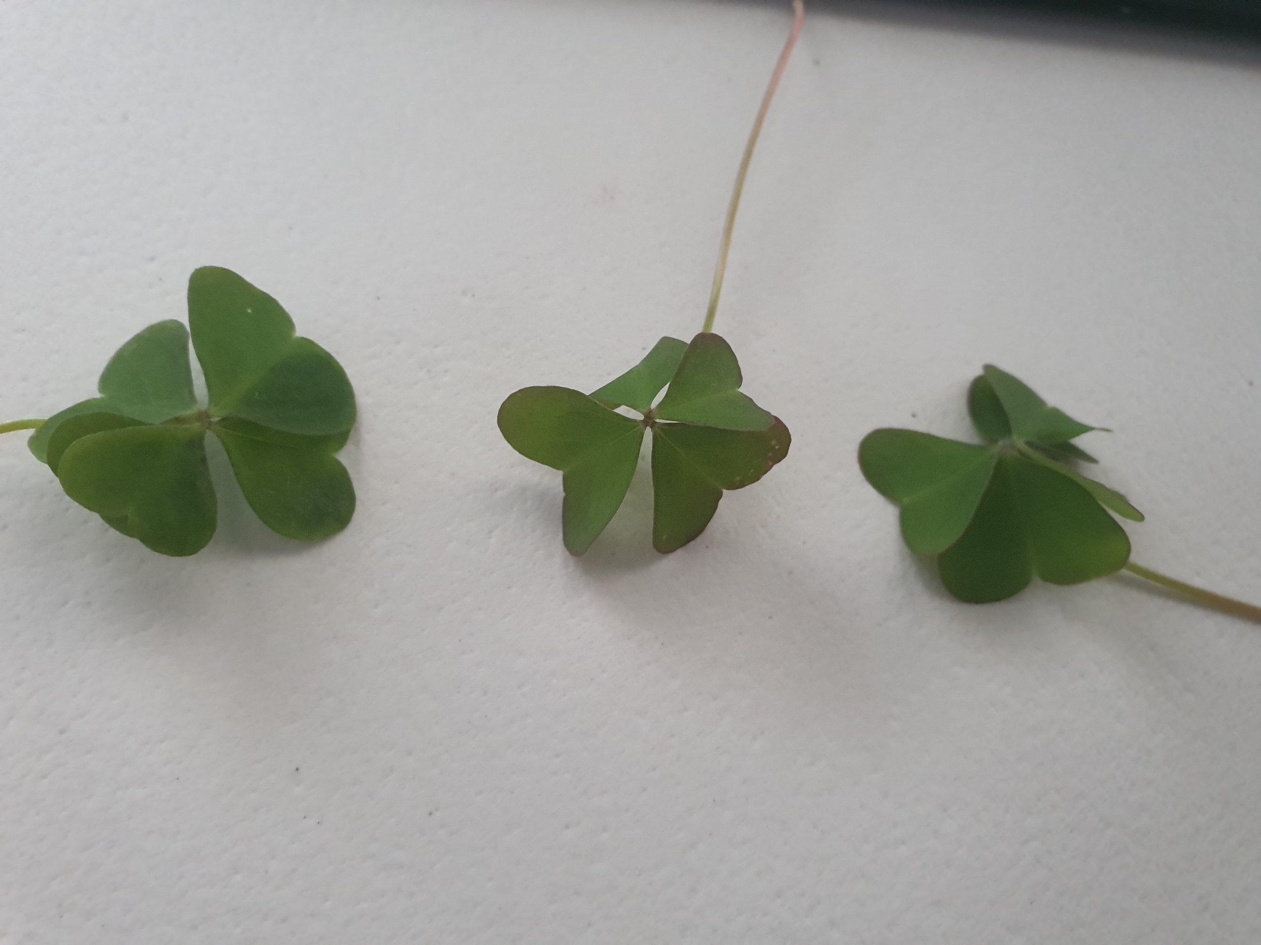 Tres tréboles de cuatro hojas en el Bernesga