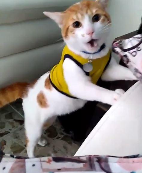 El gato que grita GOOOOL cuando gana su equipo