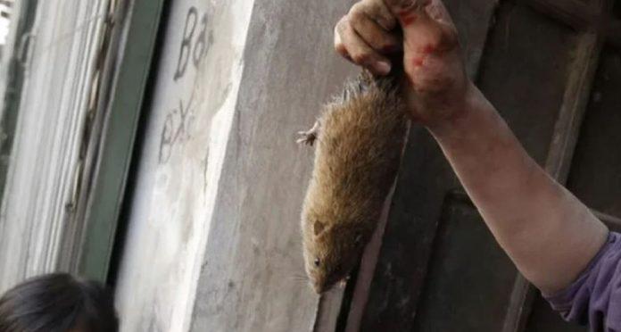ratas contagiadas con coronavirus en un restaurante
