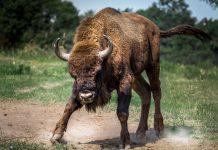fallece tras ser embestido por un toro en Puebla de Lillo