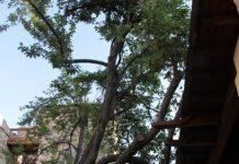 Apuntalan el ciruelo de ponferrada en la provincia de león