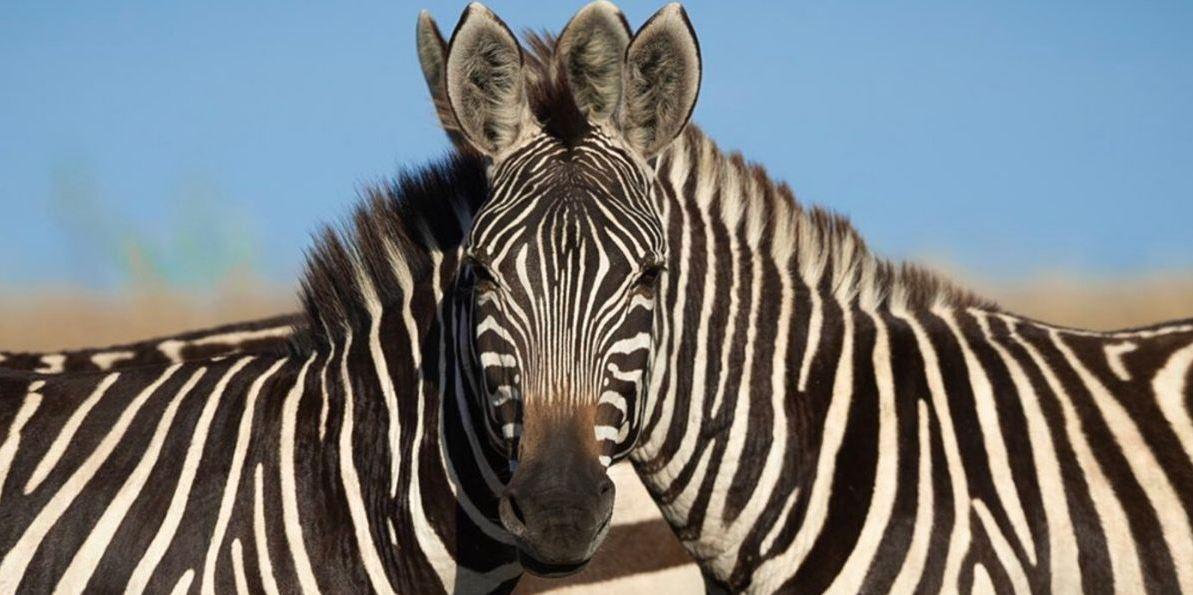 imagn viral de dos cebras