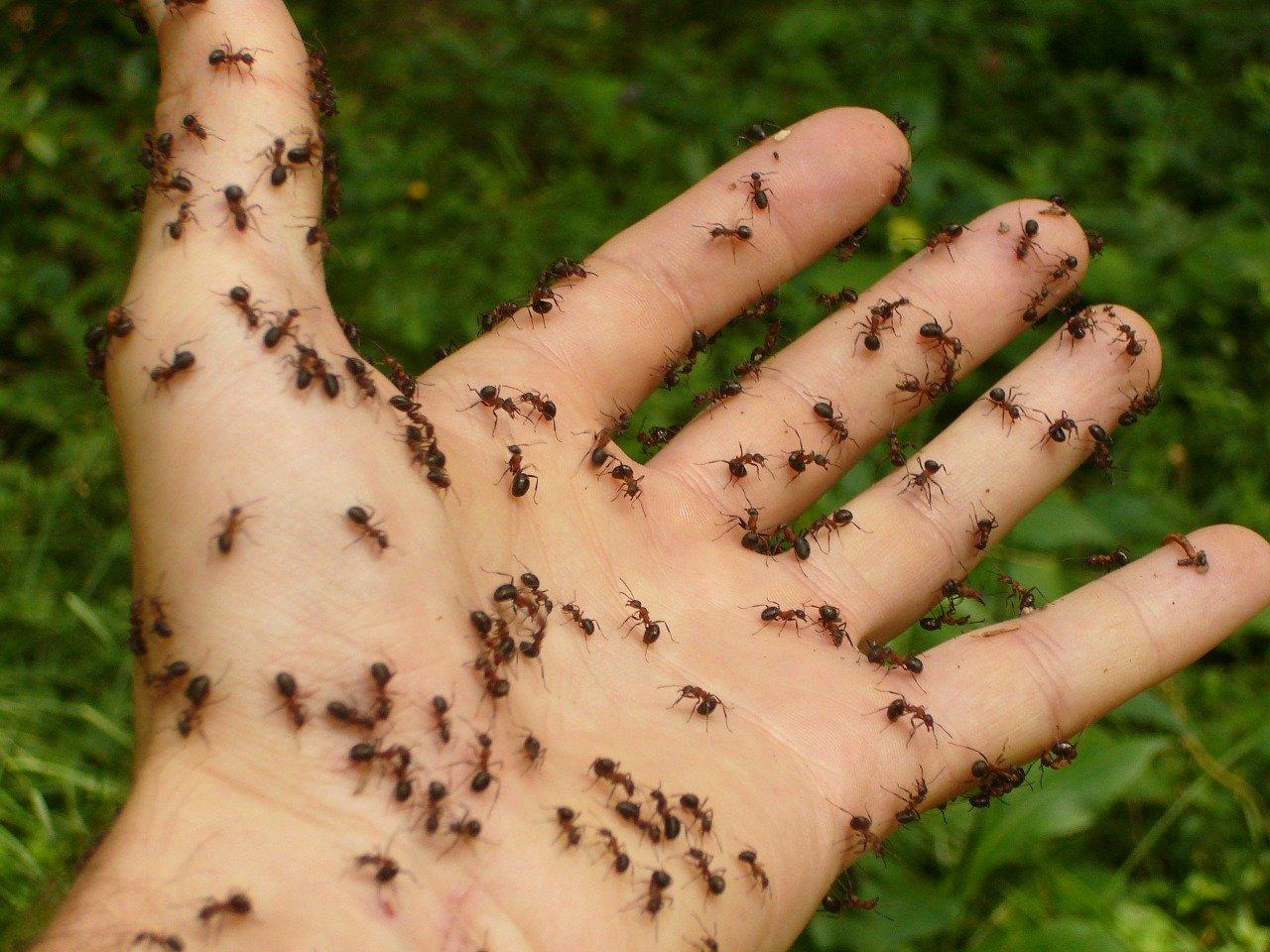 como eliminar una plaga de hormigas o cucarachas