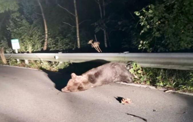 busqueda oso pardo
