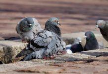 50.000 euros para preservar los palomares