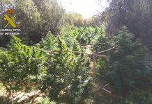 plantas marihuana león
