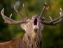 ciervos en época de la berrea