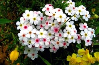la flor del cantarillo