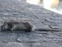 plaga de ratas en León