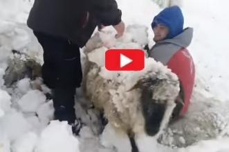 rescate ovejas