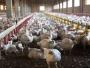 cepa gripe aviar humanos (5)