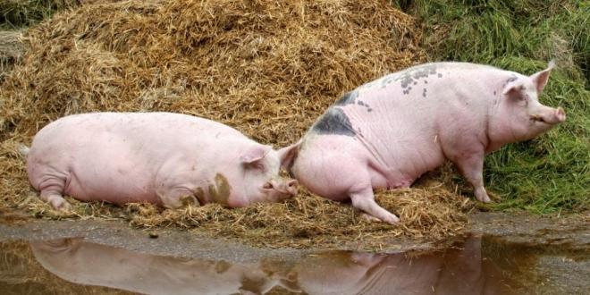 coronavirus-granjas-animales