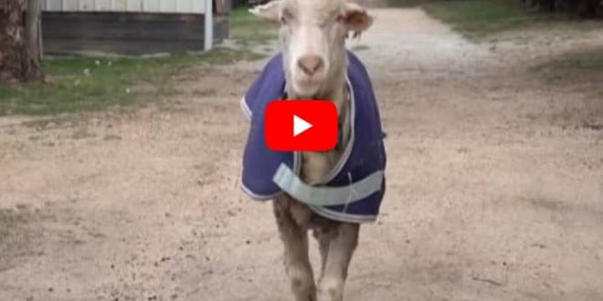video-oveja-rescatada