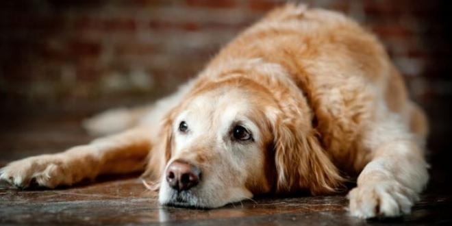 calcula edad perro