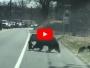 video osos carretera