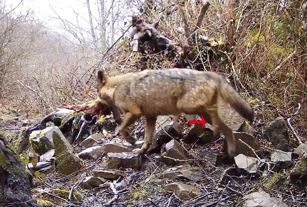 terribles imagenes lobos patas rotas