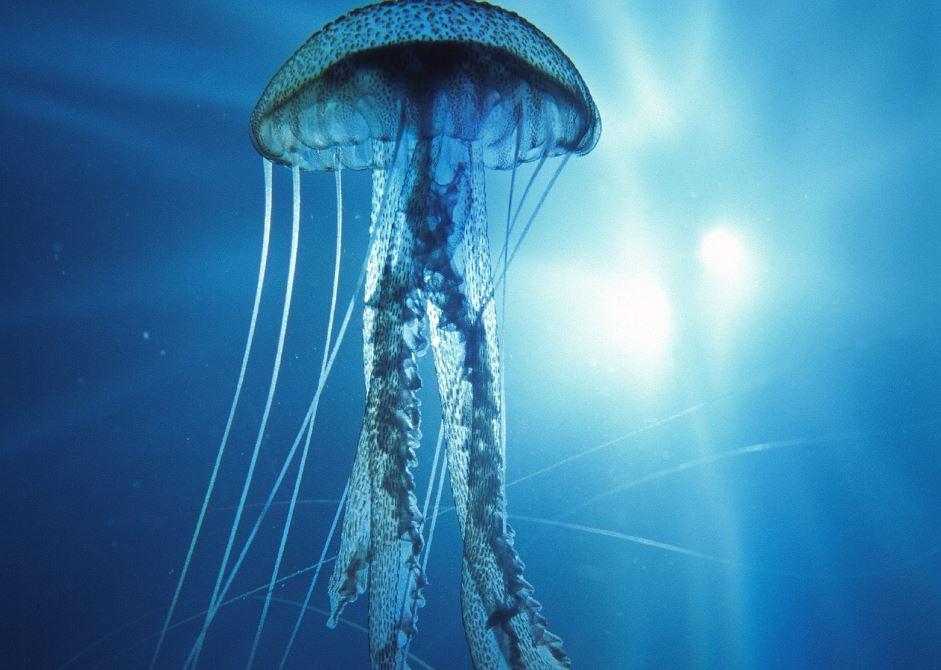 avispa mar animal venenoso