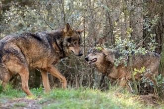 castilla leon caza lobo