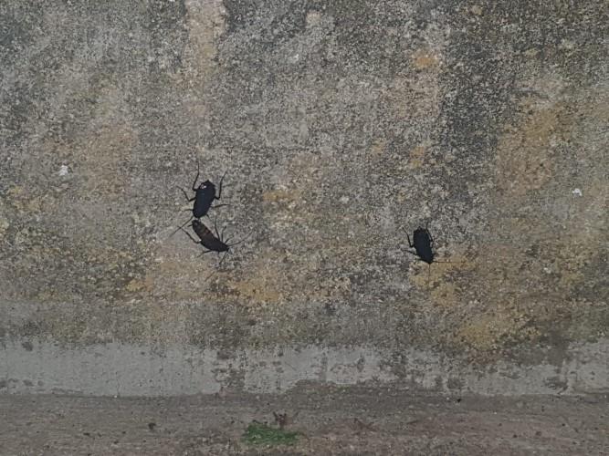 plaga cucarachas eras renueva (3)