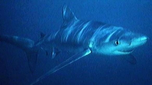 alerta tiburon playa benidorm-digital de León